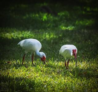 P3200020_White Ibis