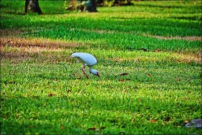 012_white ibis_2021-06-04