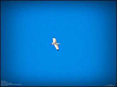 P5080023_white ibis