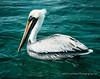 Pelican 11x14-039