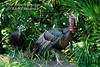 Male and Female Eastern Wild Turkey, Meleagris gallopavo, Florida, Controlled Conditions