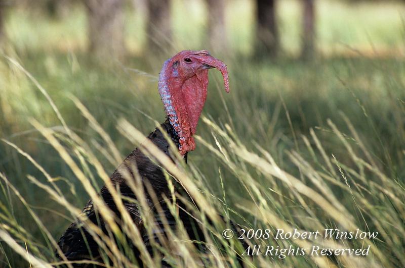 Wild Turkey, Meleagris gallopavo, South Dakota