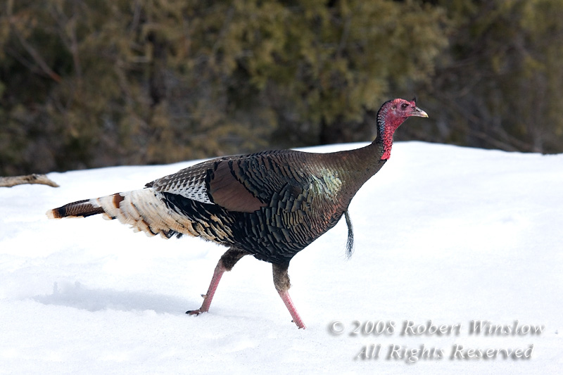 Winter, Western Wild Turkey, Meleagris gallopavo, La Plata County, Colorado, USA, North America