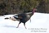 Winter, Western Wild Turkey, Meleagris gallopavo, La Plata County, Colorado, USA, North America