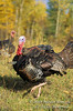 Autumn, Adult Mlae Eastern Wild Turkey, Meleagris gallopavo, Controlled Conditions