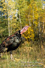 Autumn, Adult Male Gobbling Eastern Wild Turkey, Meleagris gallopavo, Controlled Conditions