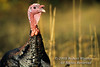 Autumn, Adult Male Eastern Wild Turkey, Meleagris gallopavo, Controlled Conditions
