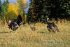 Autumn, Male, Female and Juvenile Eastern Wild Turkey, Meleagris gallopavo, Controlled Conditions