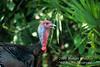 Eastern Wild Turkey, Meleagris gallopavo, Florida, Controlled Conditions
