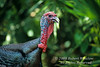 Autumn, Eastern Wild Turkey, Meleagris gallopavo, Controlled Conditions
