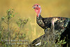 Autumn, Male and Juvenile Eastern Wild Turkey, Meleagris gallopavo, Controlled Conditions