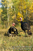 Autumn, Male and Female Eastern Wild Turkey, Meleagris gallopavo, Controlled Conditions