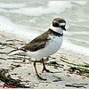 Wilsons Plover......Howard Park..Tarpon Springs...Oct.19,2011