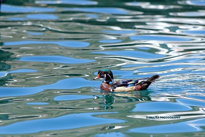wood duck just crusing