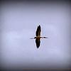 Wood Stork...Moccasin Lake Park   ©2014 RobertLesterPhotography.com