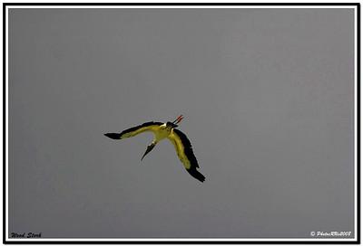 Wood Stork..Eagle Lake Cnty. Park...Largo, Florida....Aug 19, 2011