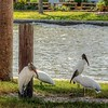 2017-10-08_PA085763_Clam Bayou Nature Park,Gulfport,Fl