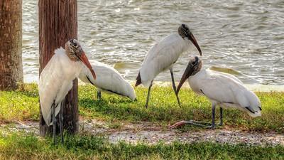 2017-10-08_PA085759_Clam Bayou Nature Park,Gulfport,Fl
