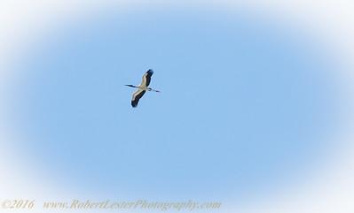 2016-07-08     Wood Stork-7080232