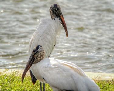 2017-10-08_PA085776_Clam Bayou Nature Park,Gulfport,Fl