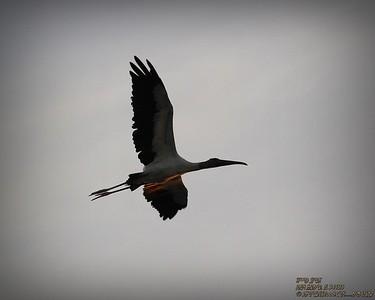 2013-11-01_ Wood Stork,Palm Harbor,Fl _IMG_6903_