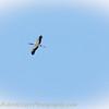 2016-07-08_ Wood Stork-7080232