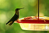 Female Ruby-throated Hummingbird at Feeder, Dane County, Wisconsin