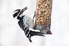 Male Hairy Woodpecker on Peanut Feeder, Dane County, Wisconsin
