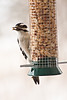 Downy Woodpecker on Peanut Feeder, Dane County, Wisconsin