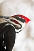 Male Pileated Woodpecker, Dane County, Wisconsin