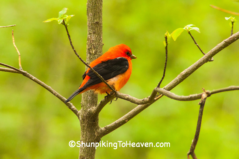 Scarlet Tanager, Dane County, Wisconsin