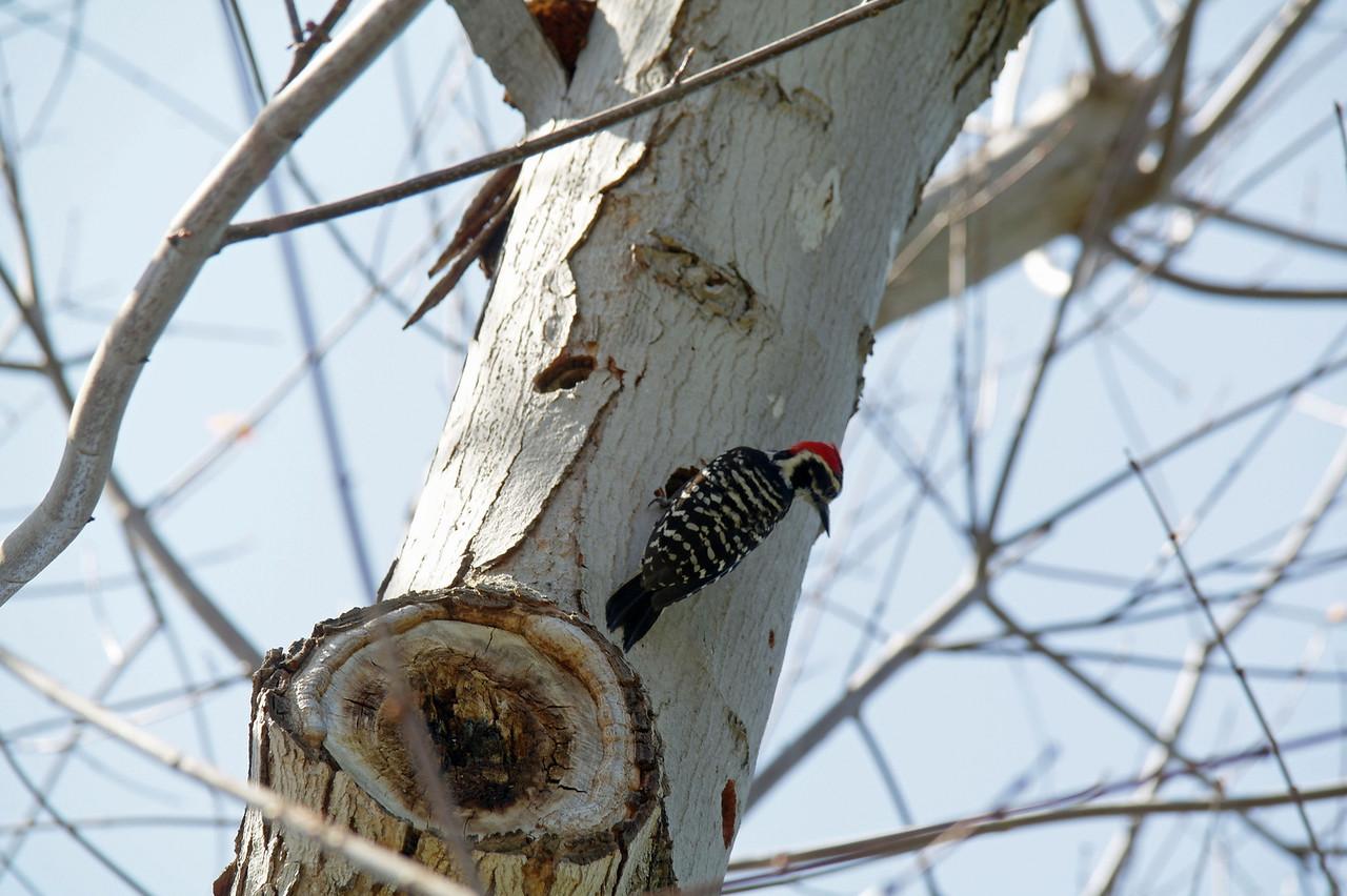913 Nuttall's Woodpecker