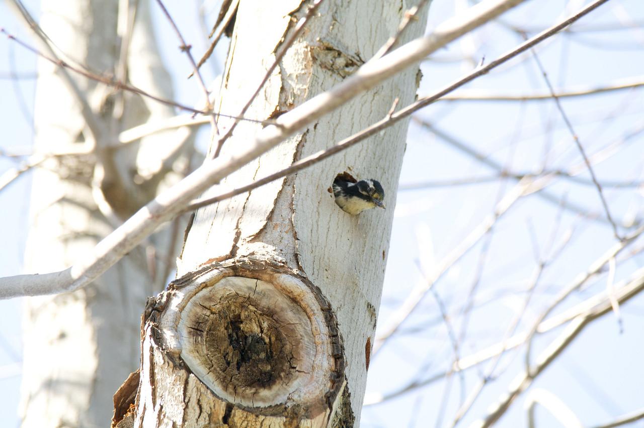 887 Nuttall's Woodpecker