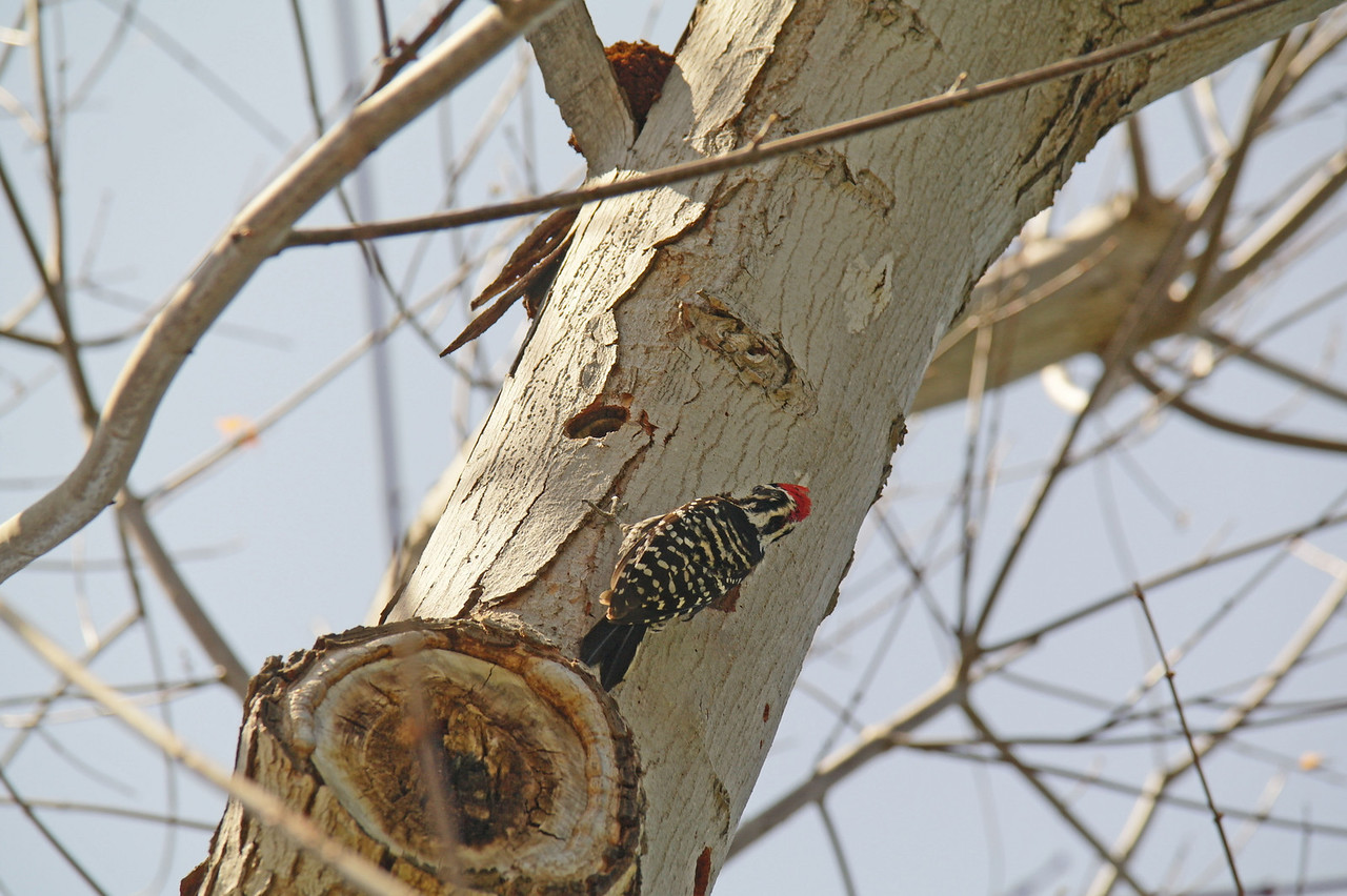 903 Nuttall's Woodpecker