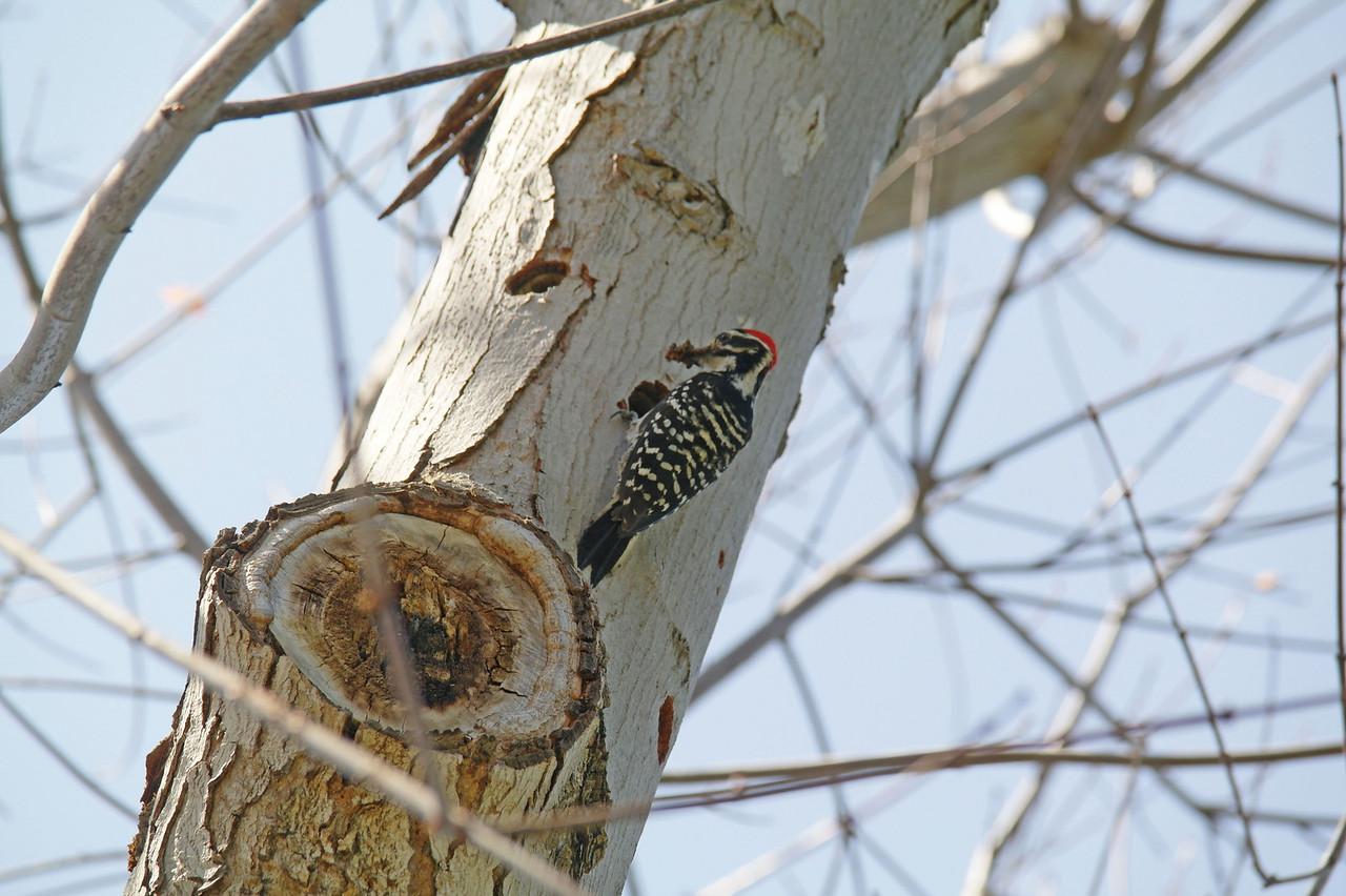 905 Nuttall's Woodpecker
