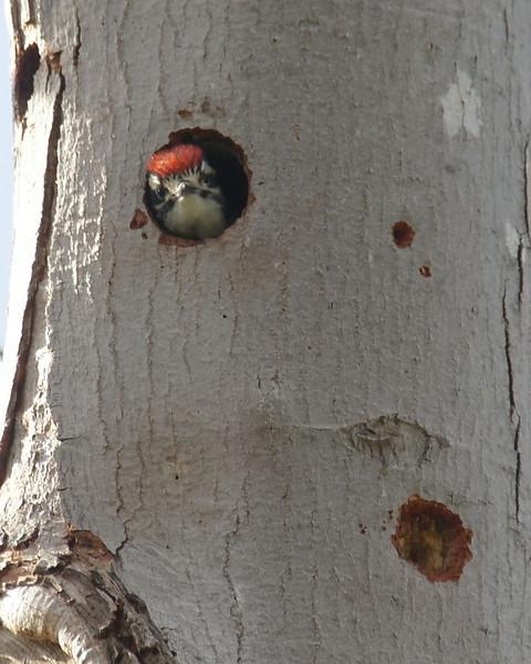 009 Nuttall's Woodpecker
