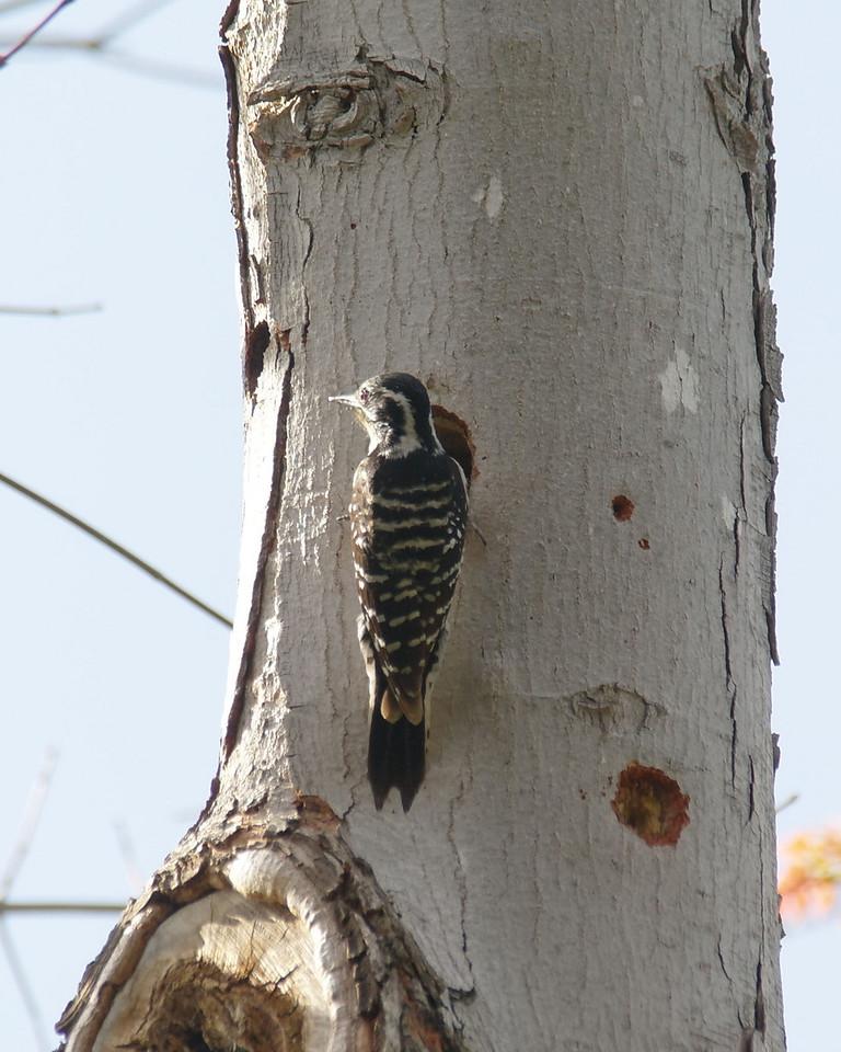 000  Nuttall's Woodpecker