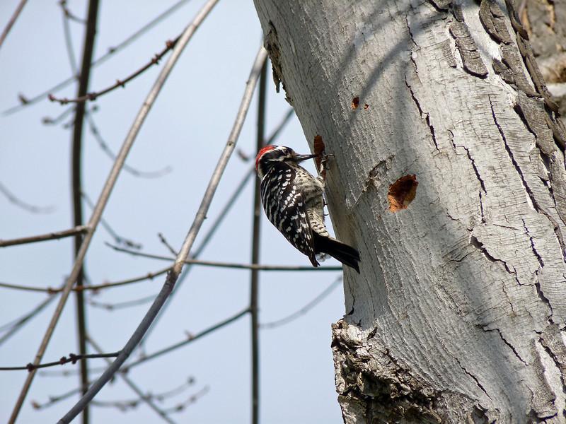 715 Nuttall's Woodpecker