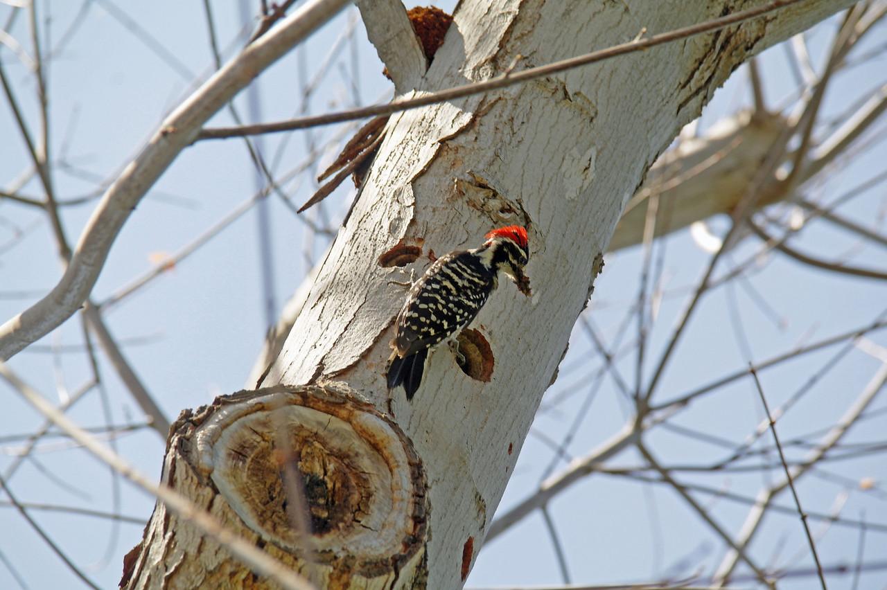 902 Nuttall's Woodpecker