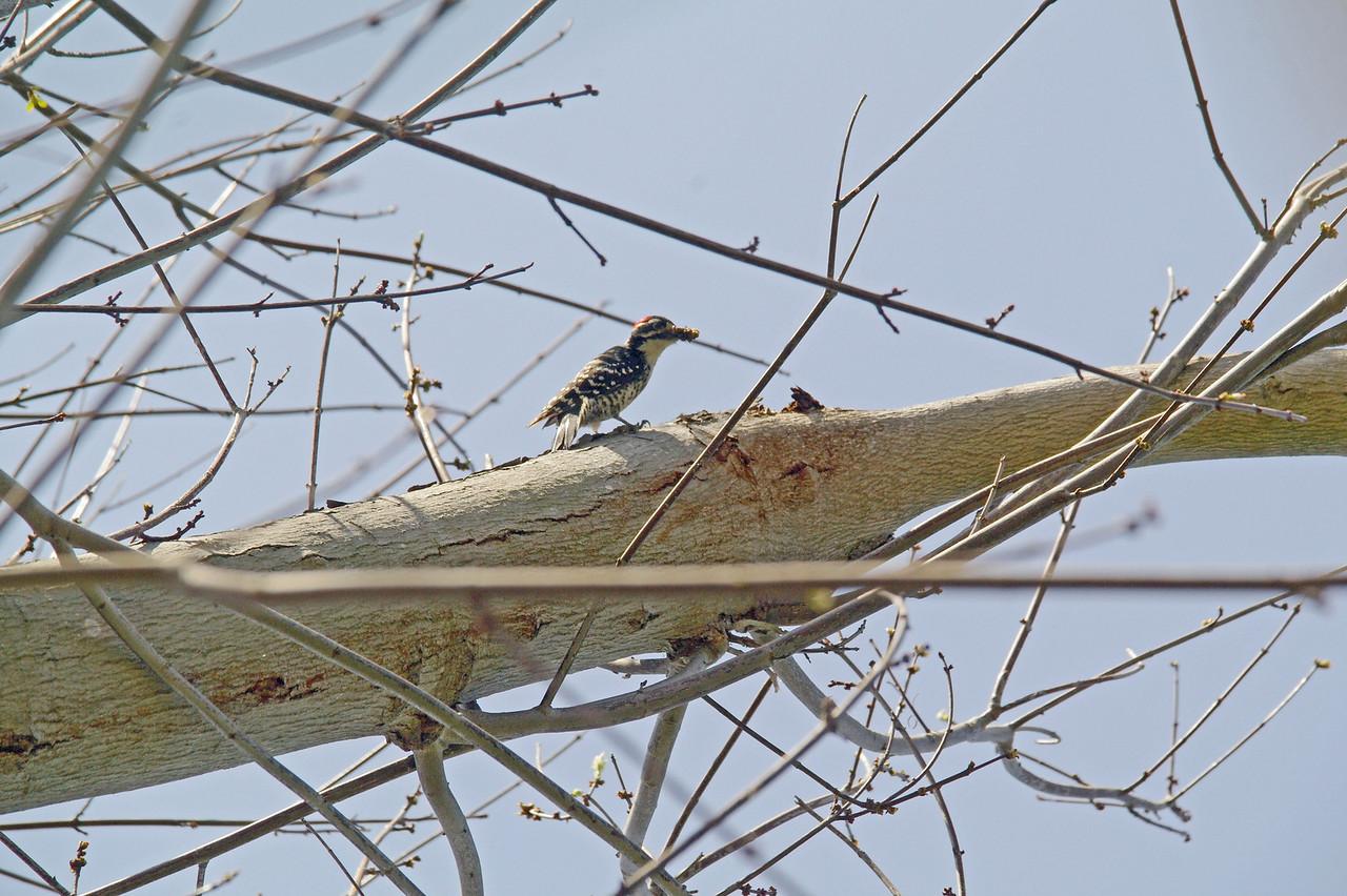 900 Nuttall's Woodpecker