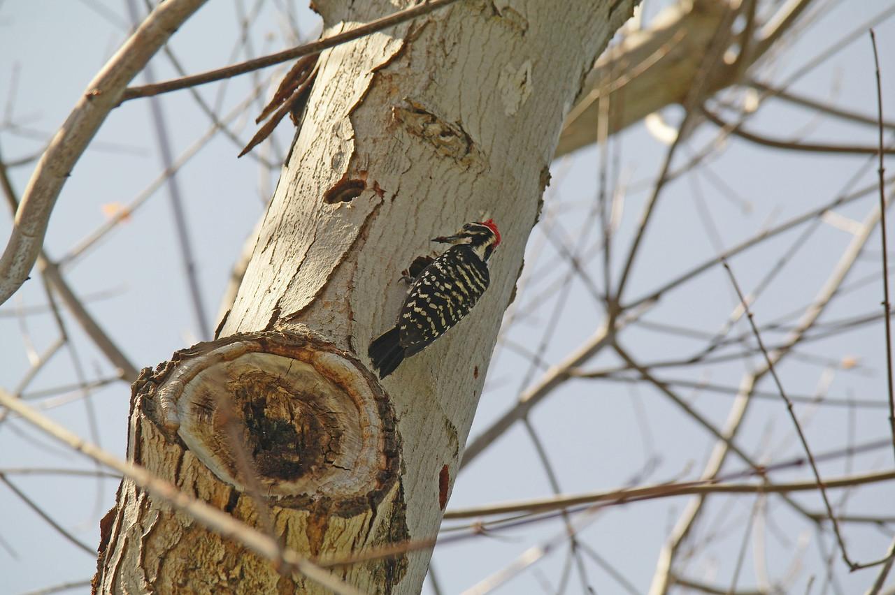 909 Nuttall's Woodpecker