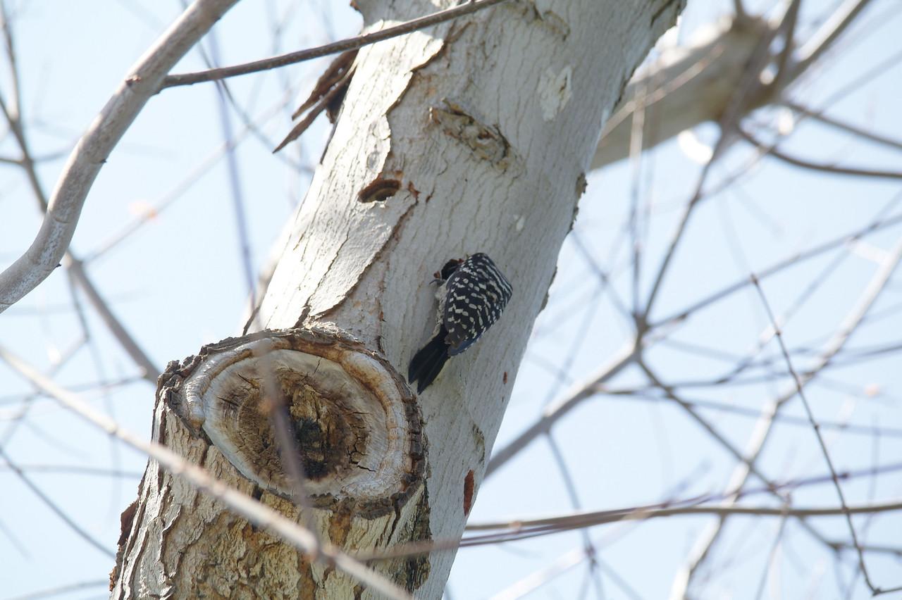 907 Nuttall's Woodpecker