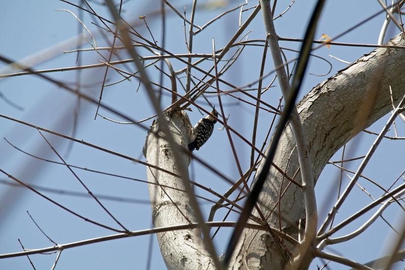 932 Nuttall's Woodpecker