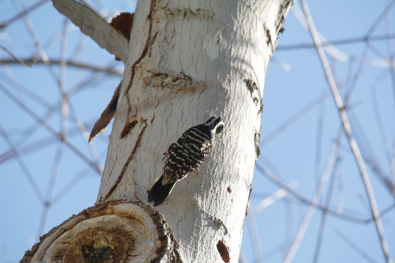 982 Nuttall's Woodpecker