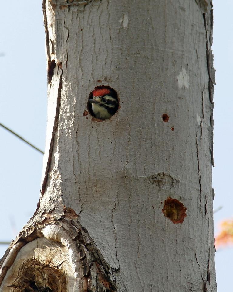 012 Nuttall's Woodpecker