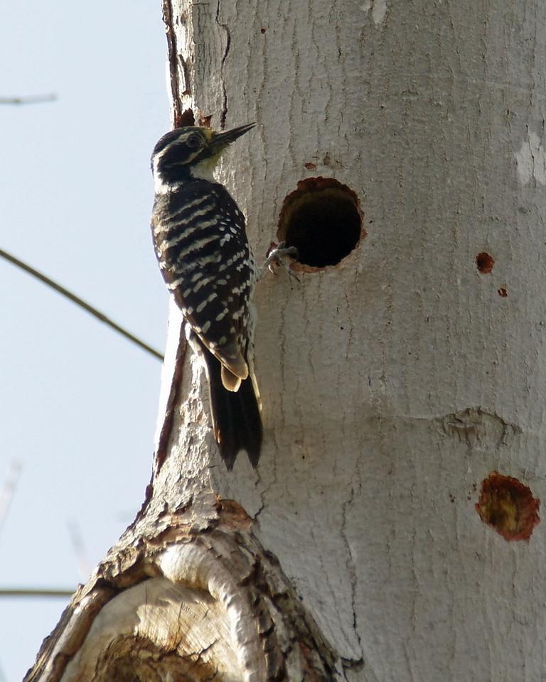 002 Nuttall's Woodpecker