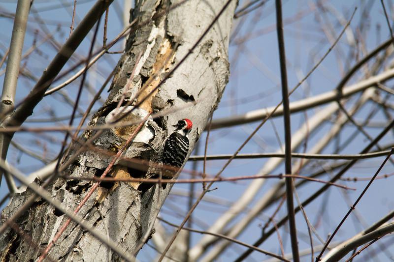 741 Nuttall's Woodpecker