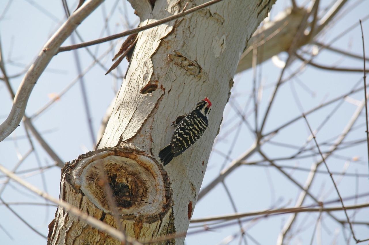 908 Nuttall's Woodpecker