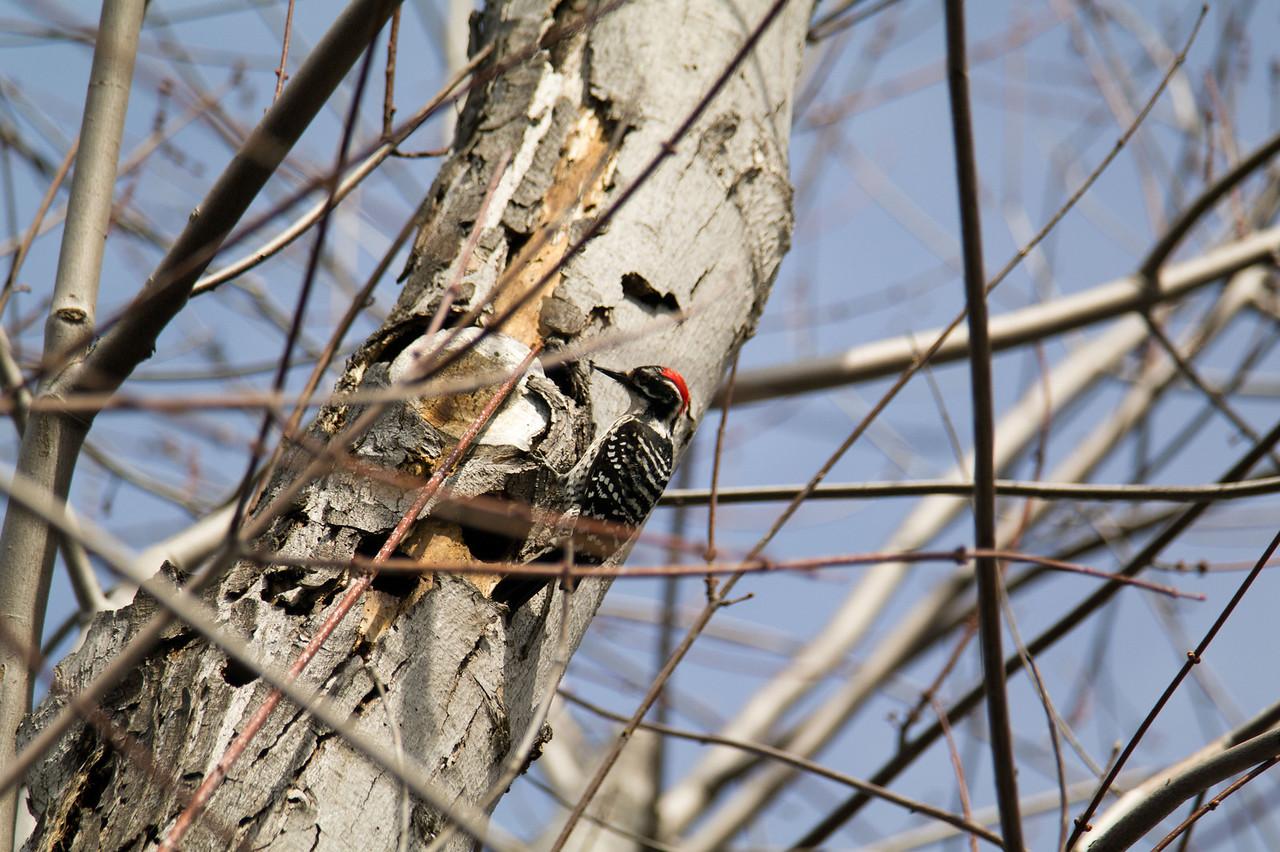 742 Nuttall's Woodpecker