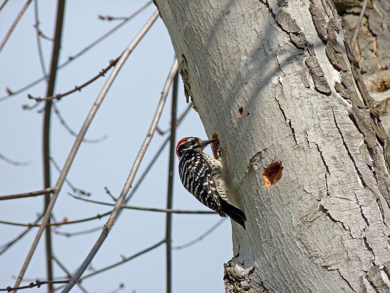 712 Nuttall's Woodpecker